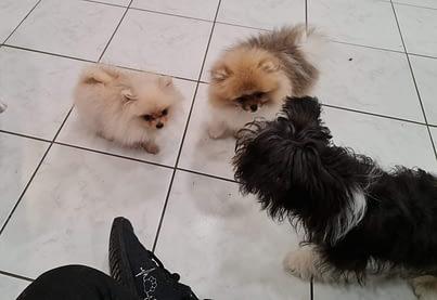 Pomeranians Gizo & Bella, samen met Boomer Pup Beertje